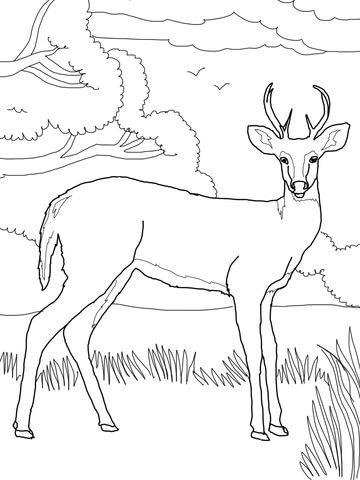 Whitetail Deer Coloring Page Free Printable Coloring Pages Deer Coloring Pages Animal Coloring Books Bird Coloring Pages