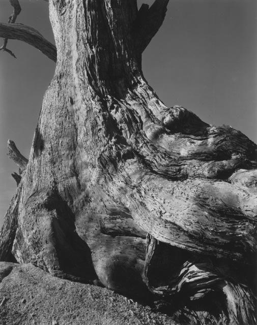 Edward Weston – Monterey Cypress, 1932