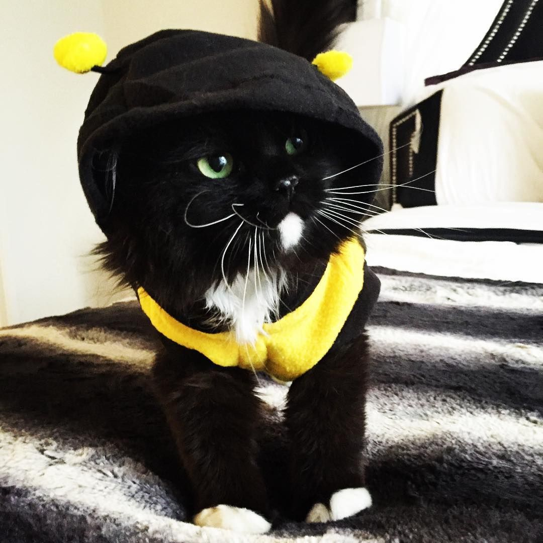 Cute cat in a bee costume! & Cute cat in a bee costume! | Cats in Costumes | Pinterest | Persian ...