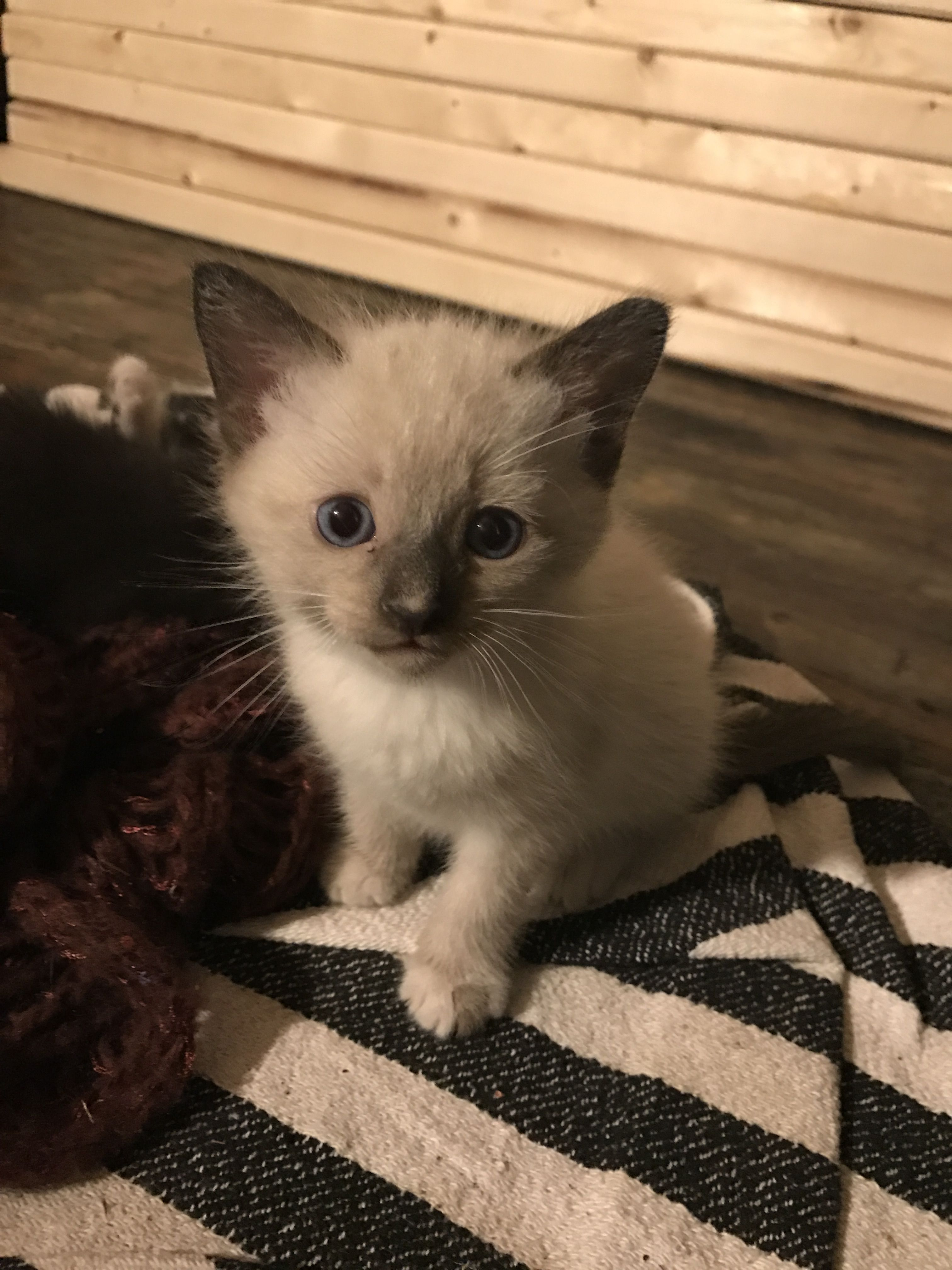 Mickey Modern Cat S Photo Contest I Love Cats Best Cat Breeds Siamese Kittens