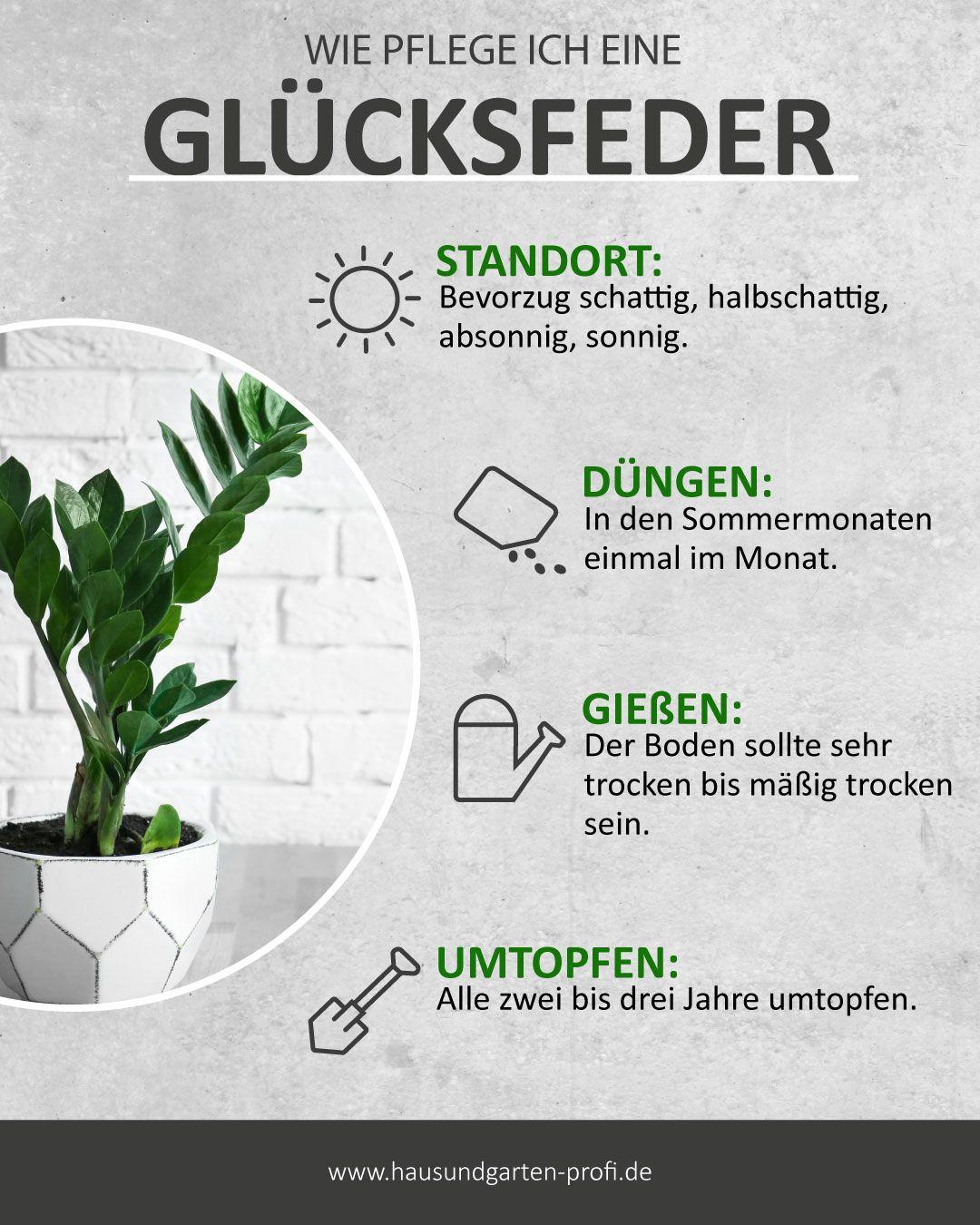 Glucksfeder So Einfach Kanns Gehen Standort Dungen Giessen Umtopfen In 2020 Pflanzen Garten Pflanzen Pflanzen Pflege