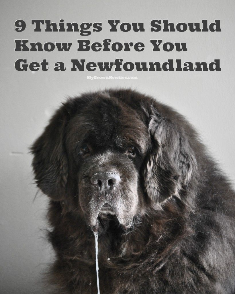 So You Think You Want A Newfoundland. Here's 9 Things You