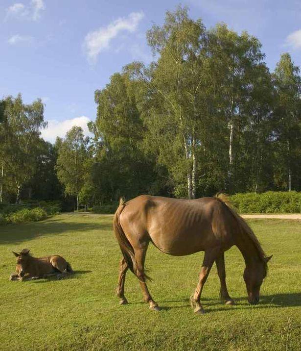 Brockenhurst, New Forest. Wild horses everywhere.