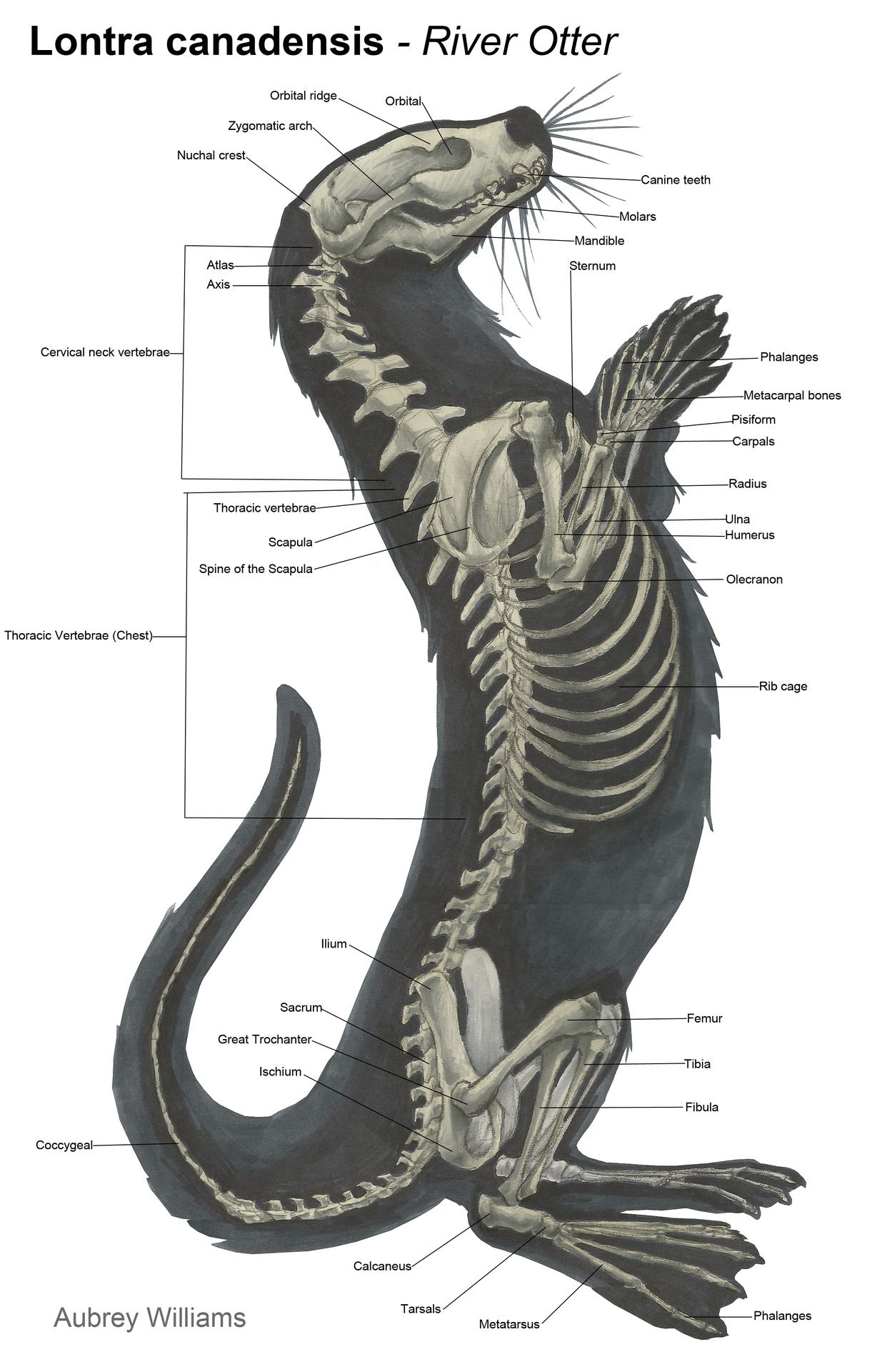 otter anatomy - Google Search … | TOTALLY …