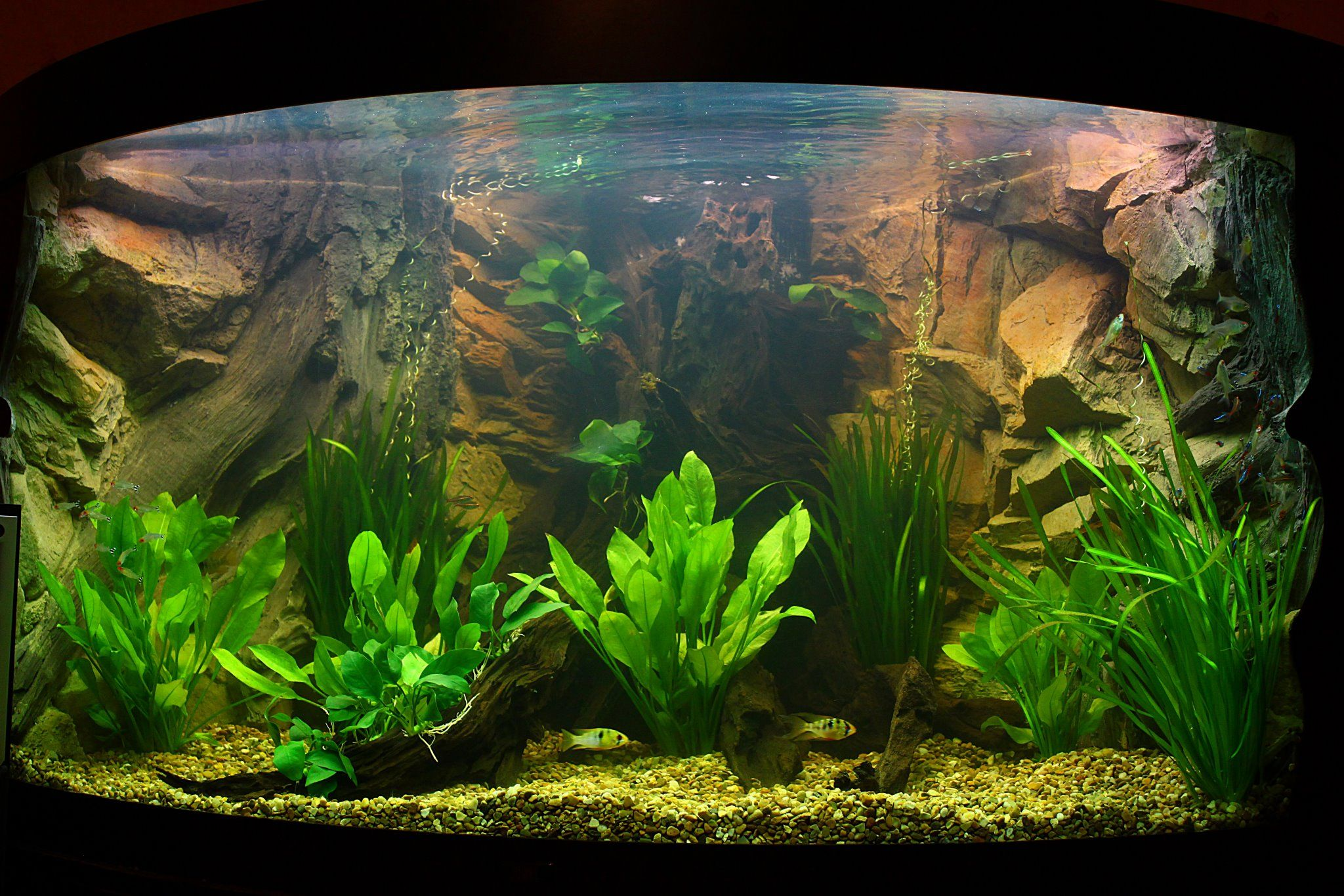 Juwel trigon 350 with our rock and root background the for Best aquarium fish