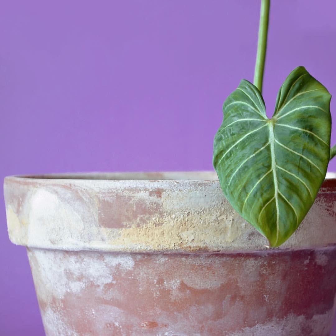 Little gloriosum leaf💚 my gloriosum had a thrip outbreak