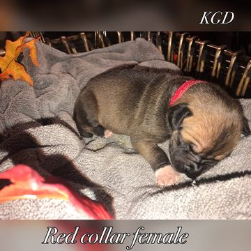 Litter Of 9 Great Dane Puppies For Sale In Neenah Wi Adn 47732