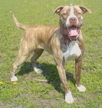 American Bull Dogue De Bordeaux Dog Breed Information And Pictures Bordeaux Dog American Bulldog Puppies American Bull