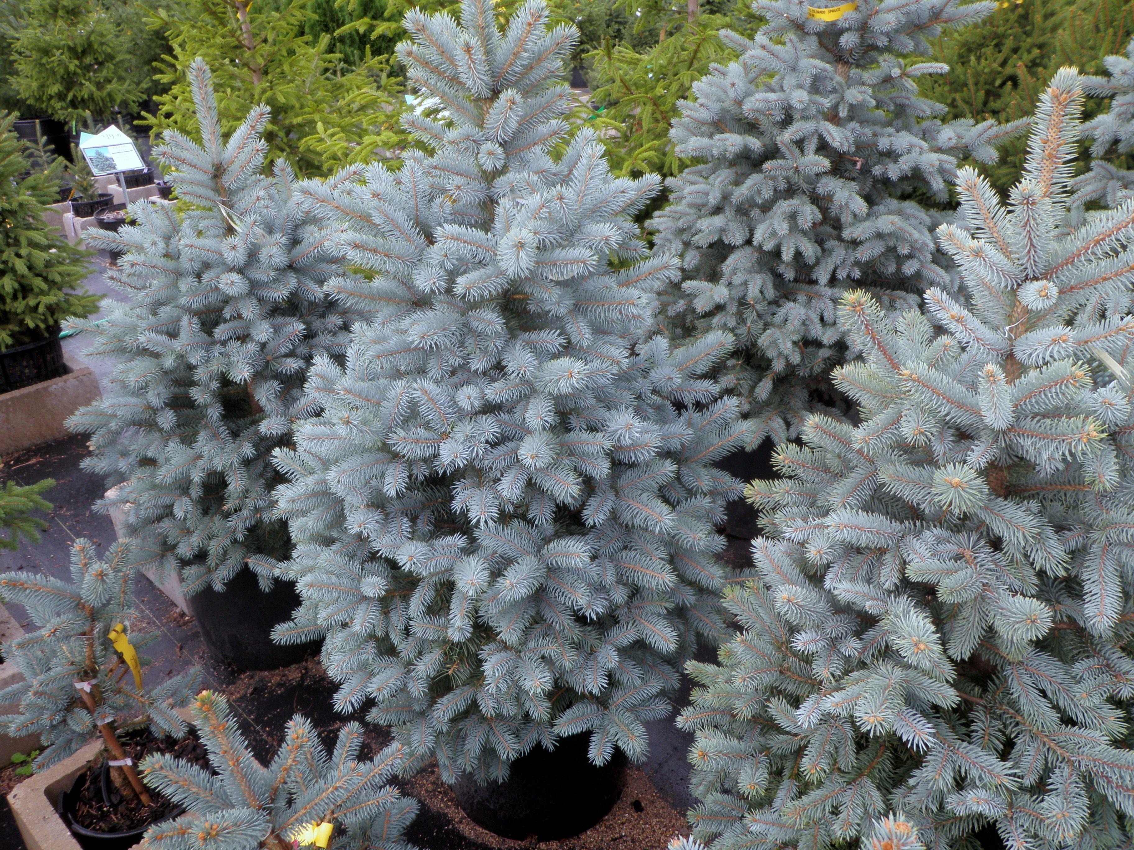 Baby Blue Eyes Colorado Spruce Knecht S Nurseries Landscaping Blue Spruce Tree Colorado Spruce Conifers Garden
