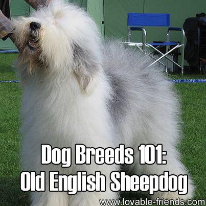 Dog Breeds 101 Old English Sheepdog Old English Sheepdog Dog Breeds English Sheepdog