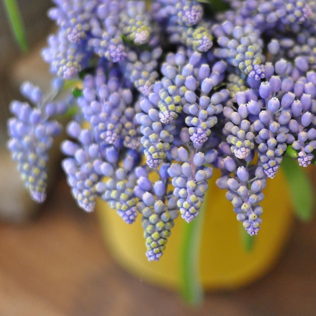 Muscari grape hyacinths Flower guide, Winter flowers