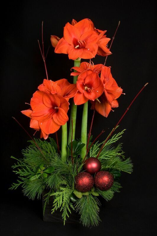 Stately amaryllis brings heightened elegance to holiday decor. #amaryllisdeko