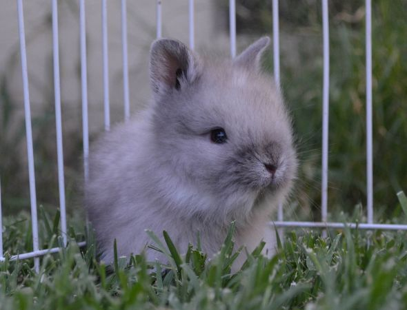 dwarf sized lionhead baby bunny Cute baby animals, Cute