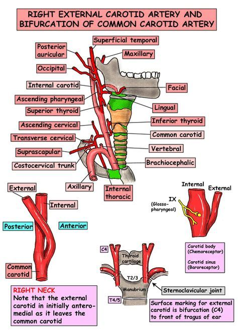 Anatomia immediata - Head and Neck - Navi - Arterie - carotide ...