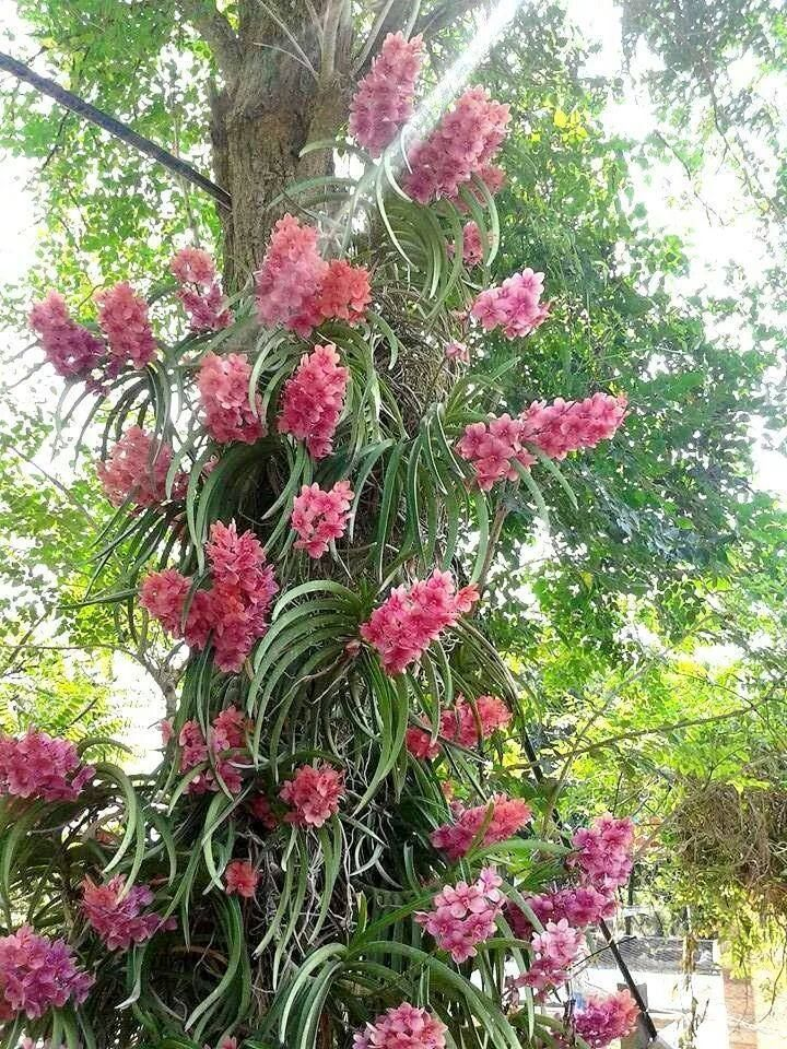 Orchid vanda grown as an epiphyte orchid and care - Vanda orchid care ...