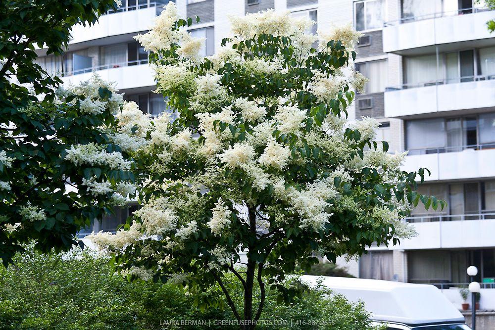 Ivory Silk Japanese Tree Lilac ( Syringa Reticulata U0027Ivory Silku0027)    GreenFuse Photos: Garden, Farm U0026 Food Photography