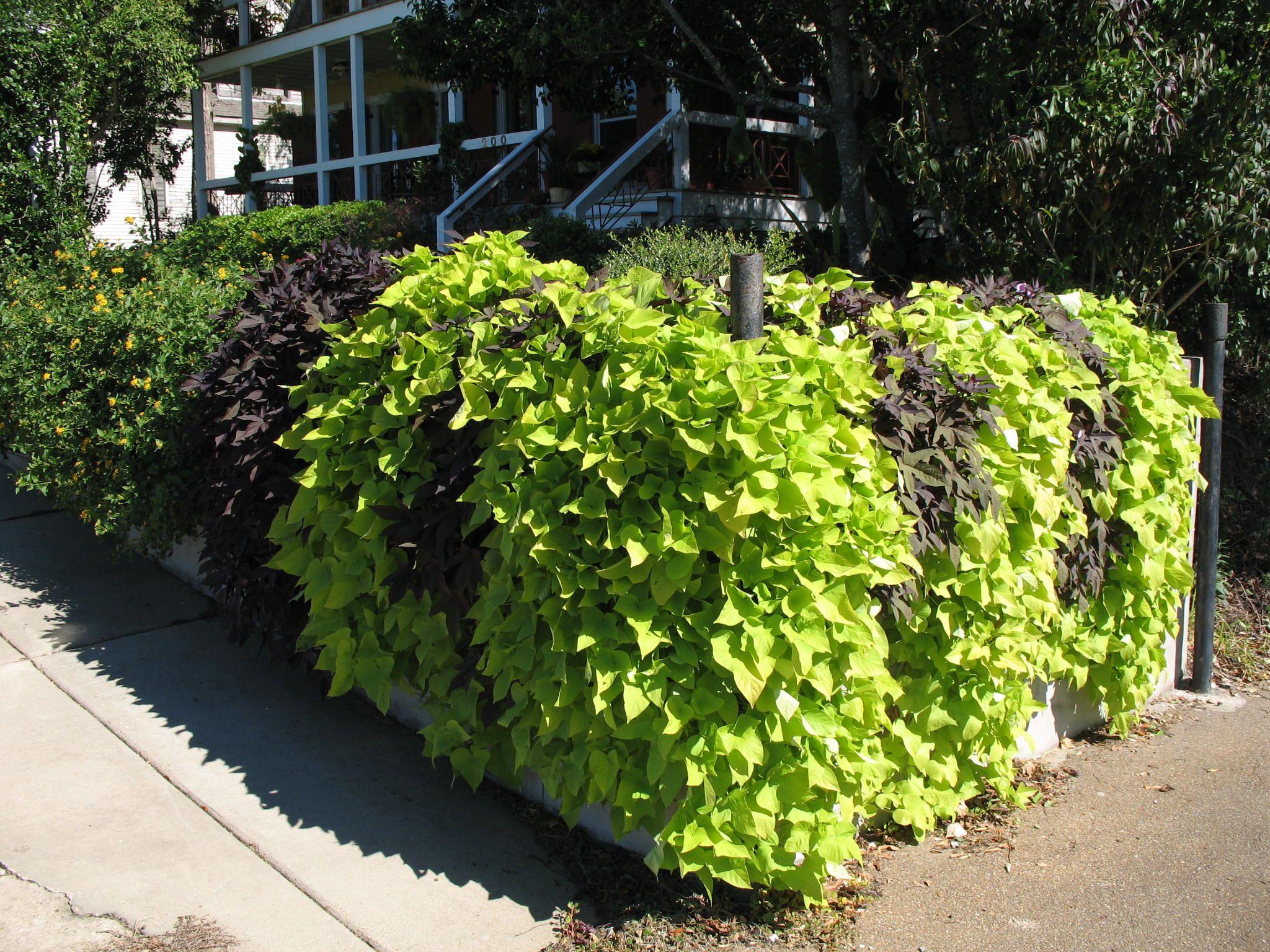 My New Obsession Sweet Potato Vines For All My Flower Pots This Summer Sweet Potato Plant Vine Plants Sweet Potato Vine