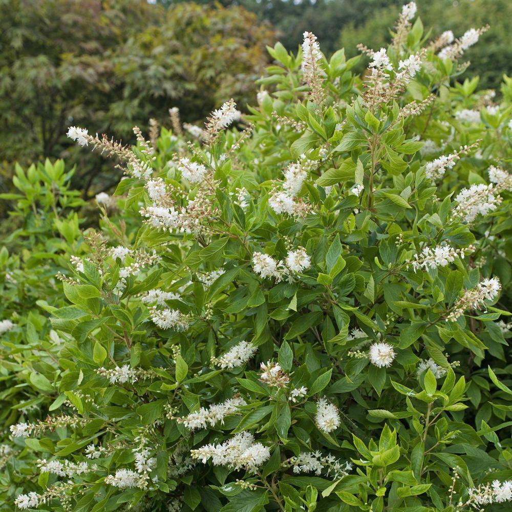 Zimterle Vanilleduft Liegt In Der Luft In 2020 Immergrune Straucher Taglilien Winterharte Pflanzen