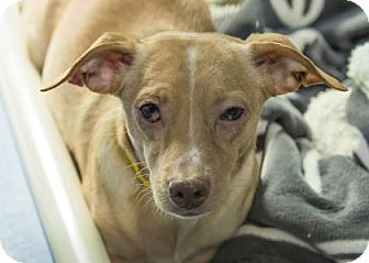 Pictures Of Ryder A Chihuahua Mix For Adoption In Colorado Springs Co Who Needs A Loving Home Adopt Please Pets Dogs Rescue Dogs