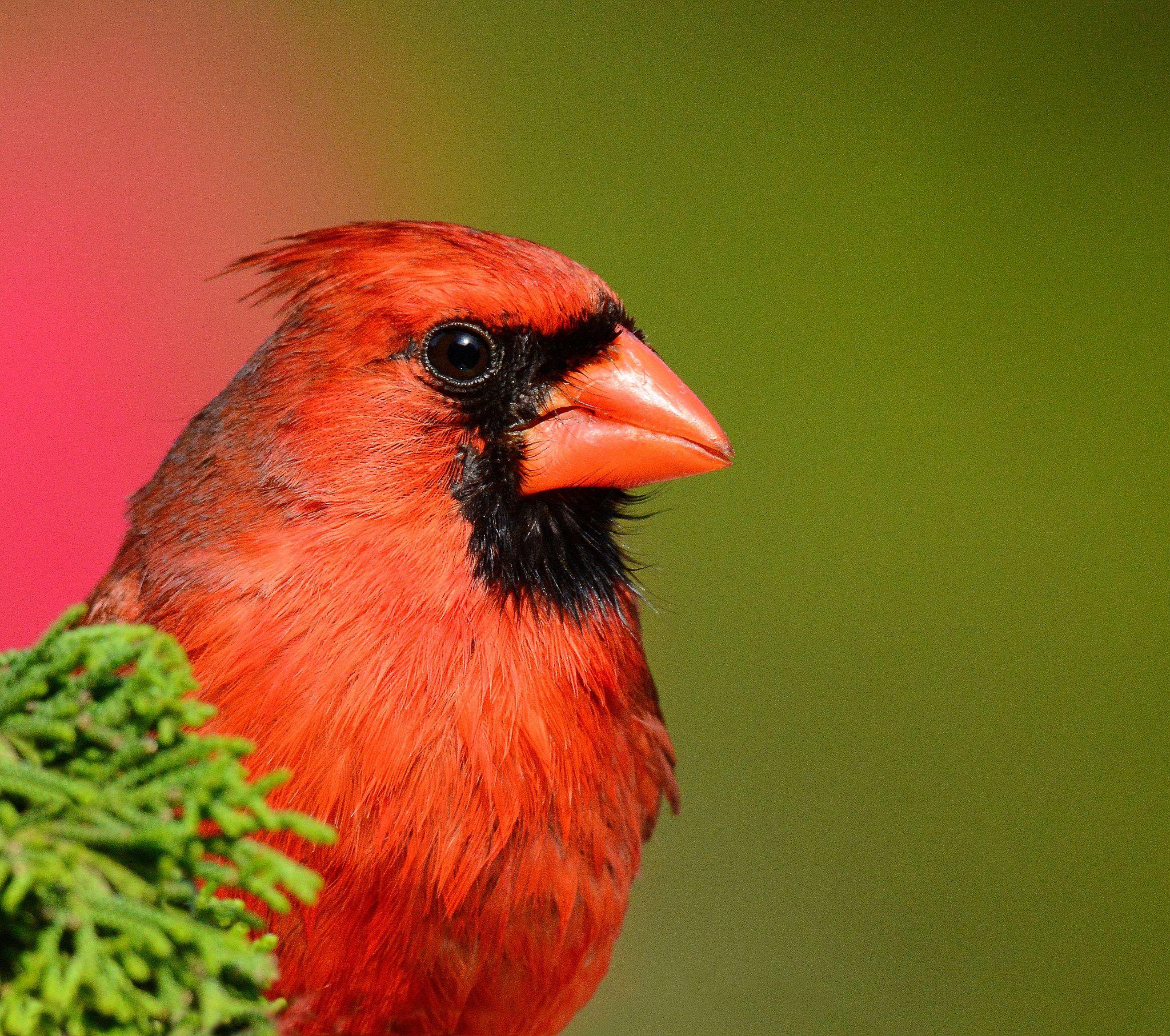 https://flic.kr/p/nF7JF2 | Male Cardinal | Baldwin, NY - May 19, 2014