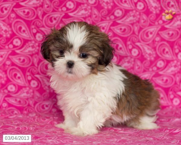 Shih Tzu Puppy For Sale In Murphy Nc Adn 33808 On Puppyfinder