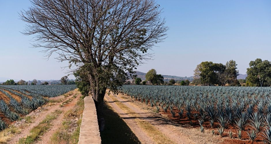 Agave Fields of Jalisco, Mexico | 10 Things You Never Knew About Tequila