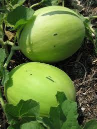 Honeydew Melon Vine Pictures