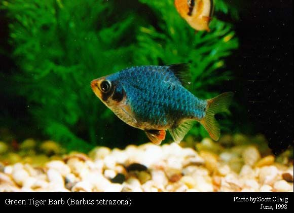 Tiger Barbs Changing Colour Tropical Fish Forums Tiger Fish Fish Tropical Fish