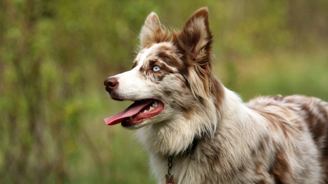 Border Collie Rouge merle | Chien rouge, Chien, Animaux