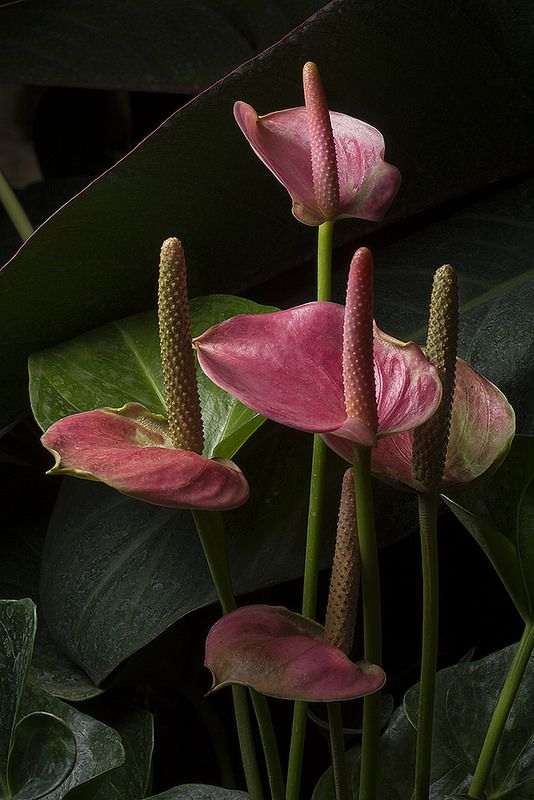 Flamingo Flowers In The Light Anthurium Plant Anthurium Flower Anthurium