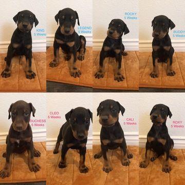 Doberman Pinscher Puppy For Sale In Palmdale Ca Adn 45798 On Puppyfinder Com Gender Male Age 6 Weeks Old Doberman Pinscher Puppy Doberman Puppies For Sale
