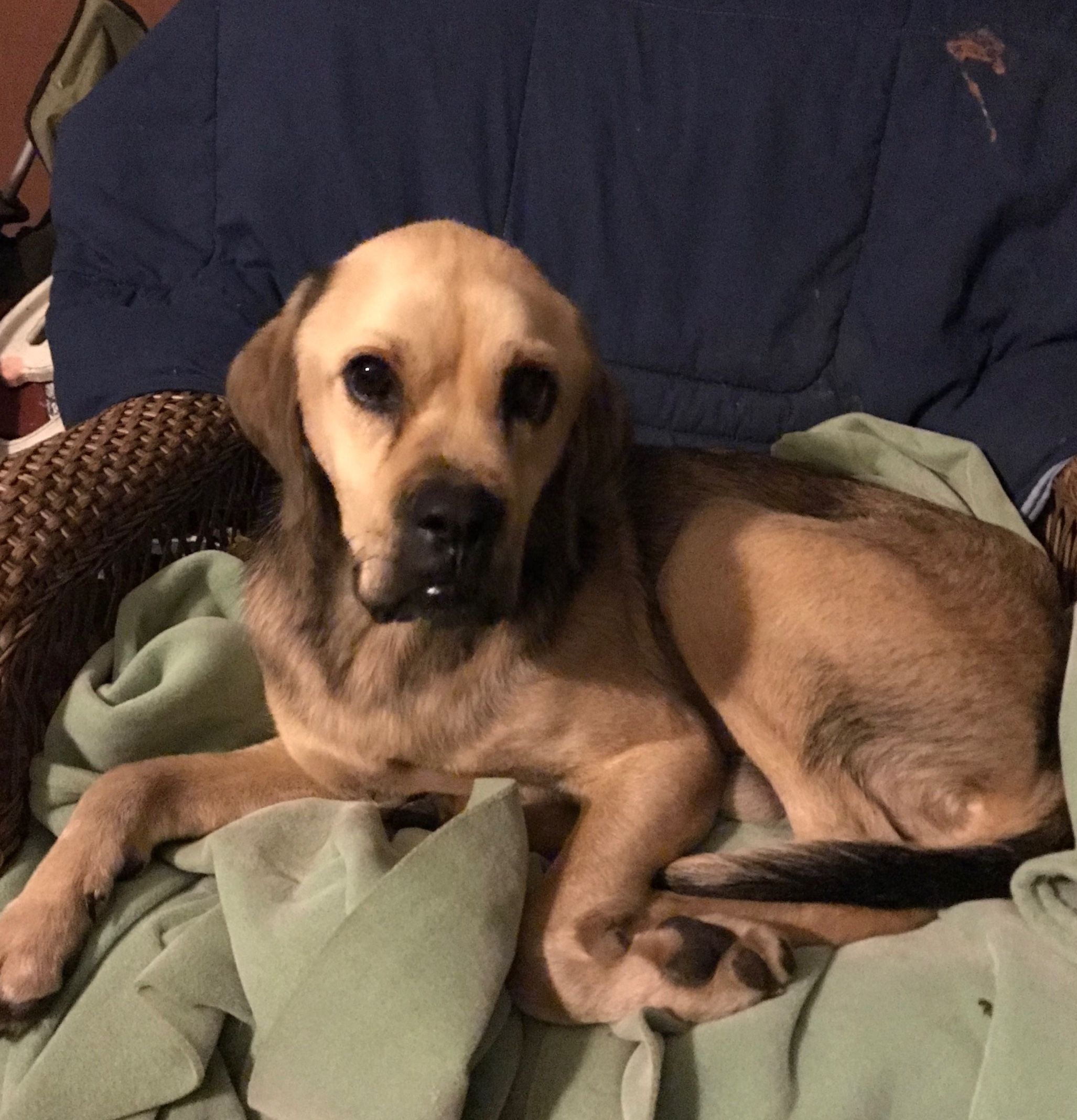 Labrador Retriever Dog For Adoption In Pottstown Pa Adn 754235