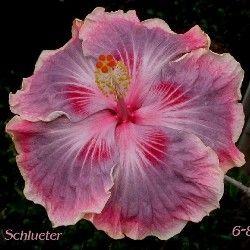 Barry Schlueter Hibiscus Hibiscus Plant Hibiscus Flowers Hibiscus Rosa Sinensis