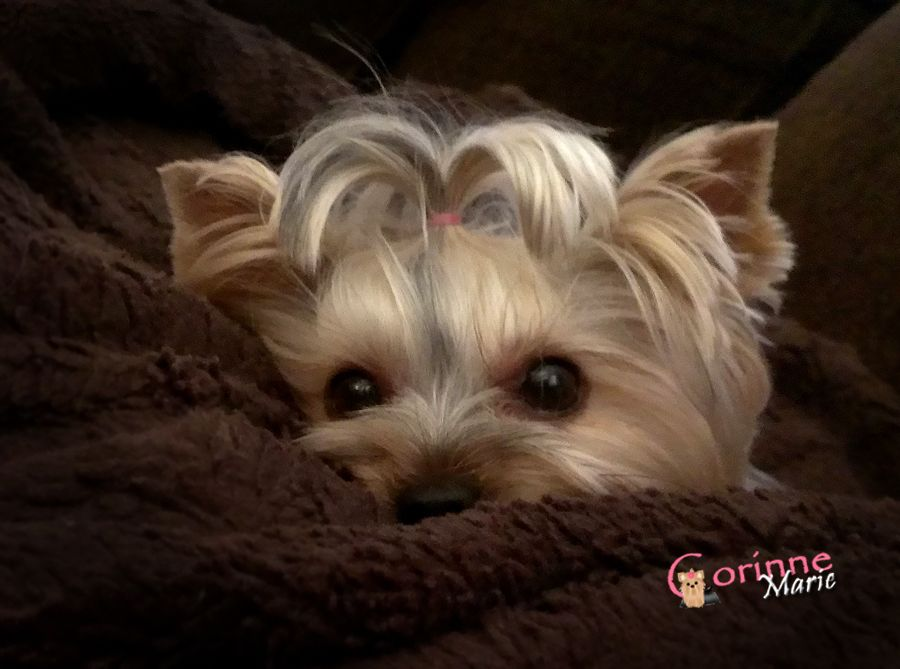 That Was A Scary Story Not A Bedtime Story Yorkie Lovers Yorkie Baby Yorkie