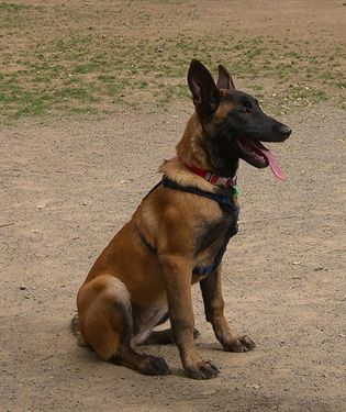 Belgian Malinois Origin Belgium Colors Fawn To Mahogany With A Black Mask And Ears Size Large Type O Smartest Dog Breeds Belgian Malinois Dog Malinois