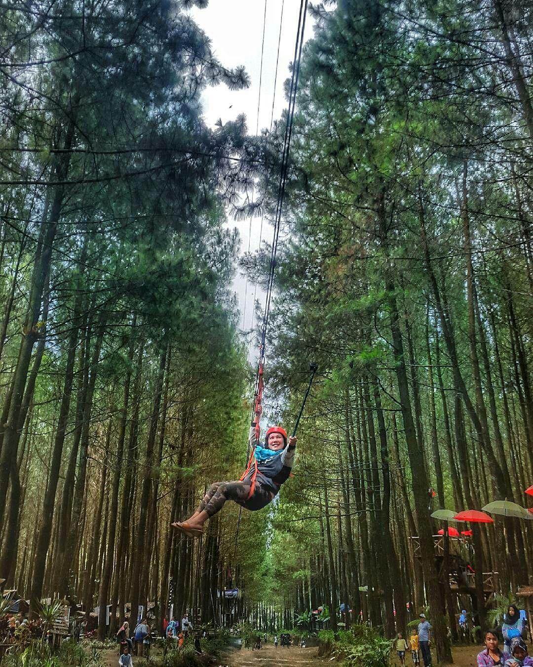 Hutan Pinus Malang : hutan, pinus, malang, Hutan, Pinus, Semeru, Malang, Hutan,, Malang,, Liburan