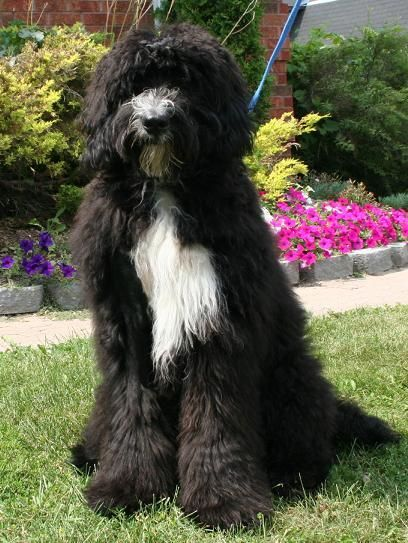 The Bernedoodle A Bernese Mountain Dog And Standard Poodle Mix