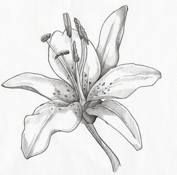 картинки лилии цветы нарисованные