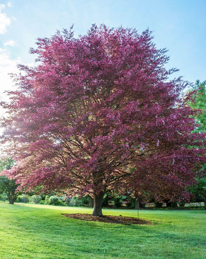 Tricolor Beech Fagus Sylvatica Purpurea Tricolor Or Roseo