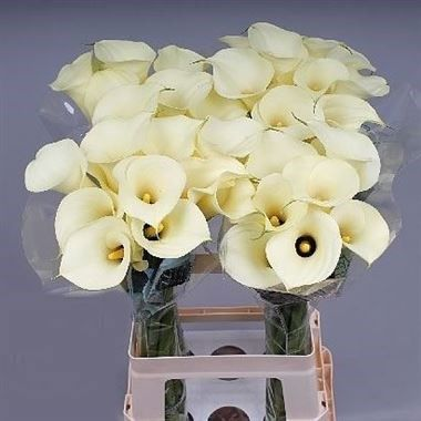 Calla Lily Snowstar Zantedeschia Is A Cream Arum Type Lily Very Popular For Contemporary Floristry And Wedding Flow Wholesale Flowers Flowers Uk Calla Lily