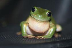 He looks so happy. White's tree frog   Tumblr