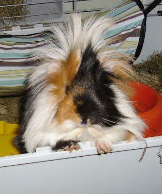 Cute guinea pig mignon cochon d 39 inde adorable - Image de cochon mignon ...