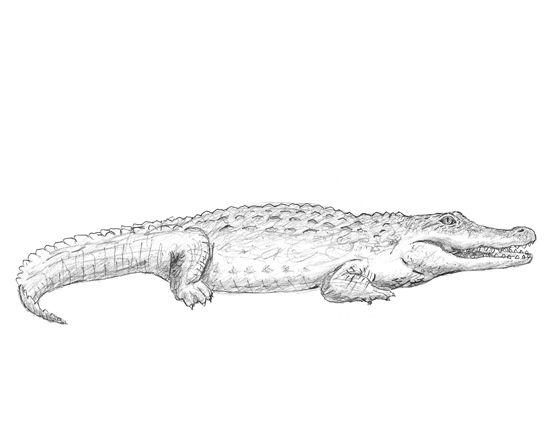 How To Draw A Crocodile Crocodile Illustration Animal Drawings Crocodile Tattoo