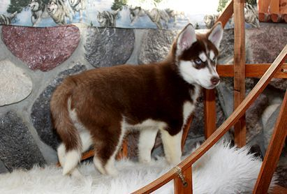 Dark Red Siberian Husky Google Search Siberian Husky Red