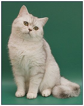 British Shorthair Cat Chocolate Silver Shaded British Shorthair