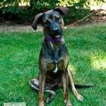 Tamber – 18 month old Plot Hound mix girl, 40lbs. Ready for adoption.