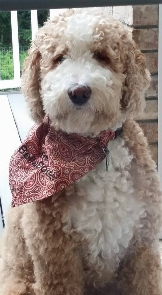 Red And White Tuxedo Goldendoodle Goldendoodle Doodle