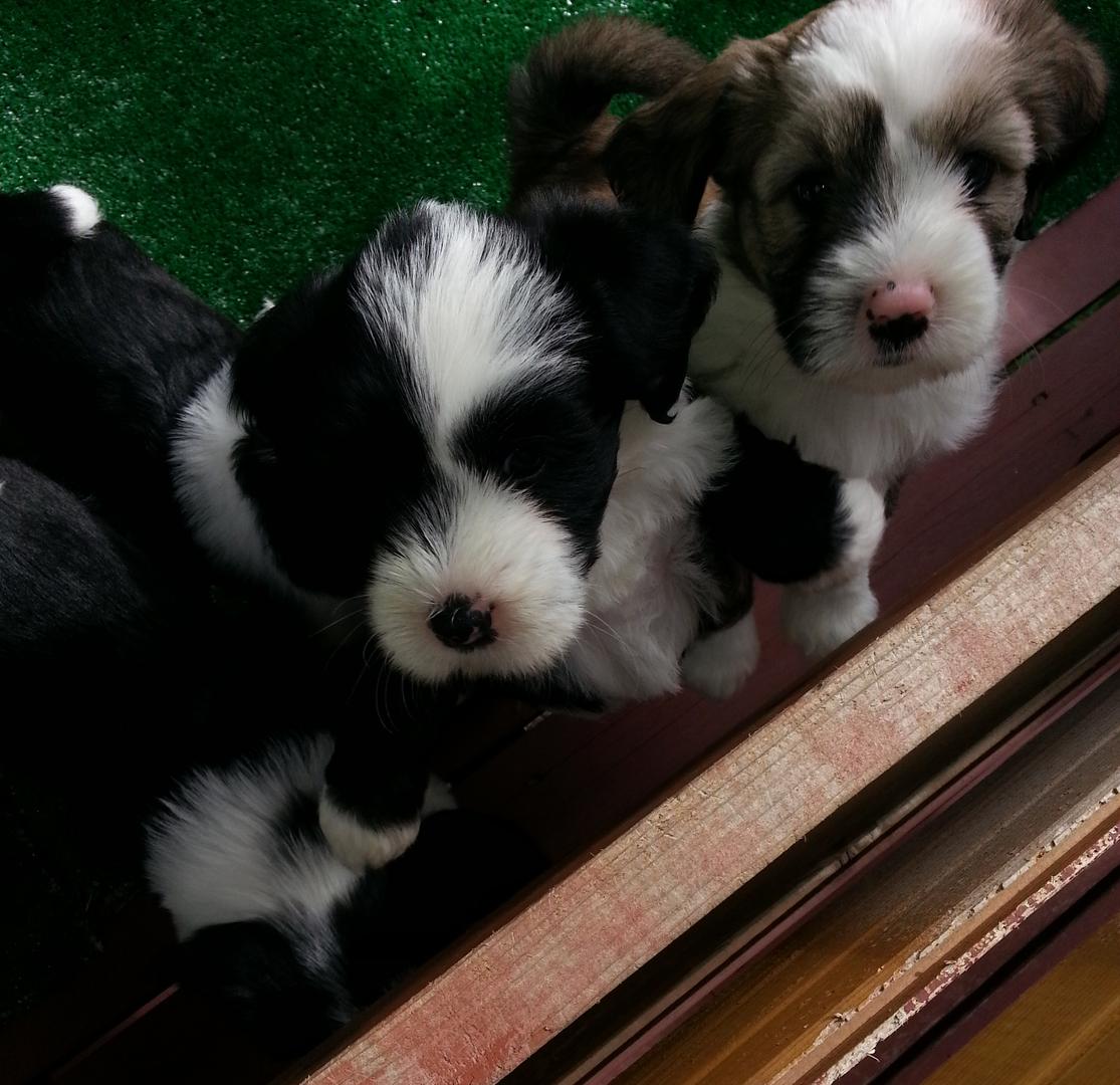 Tibetan Terrier Puppies For Sale Minneapolis MN Puppies