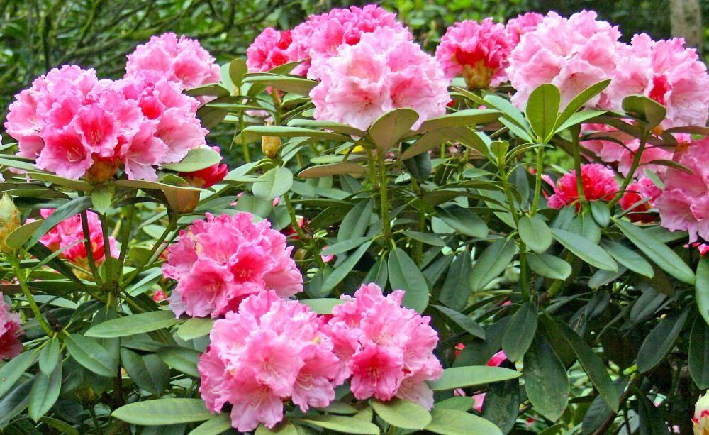 rhododendron umpflanzen gardens. Black Bedroom Furniture Sets. Home Design Ideas
