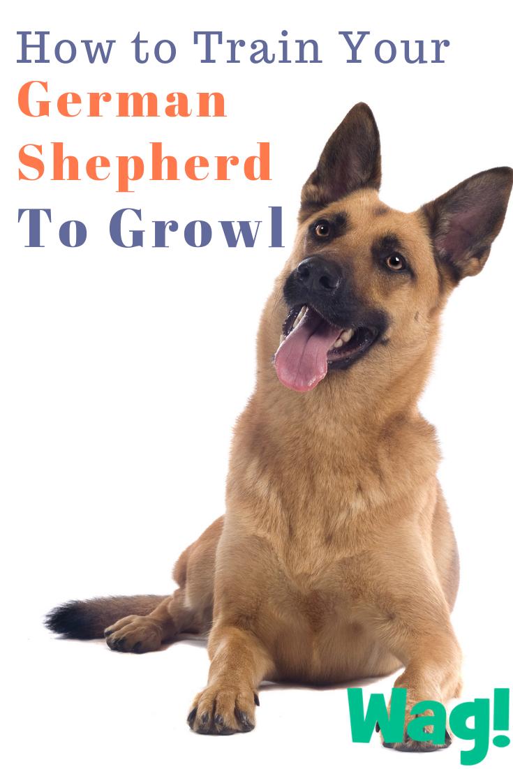 How To Train Your German Shepherd Dog To Growl Malinois Dog Belgian Malinois Dog Belgian Malinois